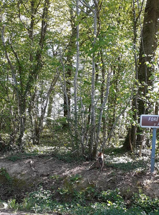 #AMAFENETRE Catherine, en forêt d'Othe, un renard, 24 avril
