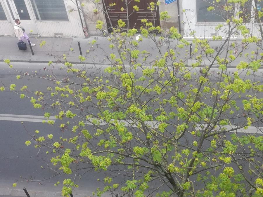 #AMAFENETRE Hala, Paris, 11 avril / je me masque, mon arbre se dévoile