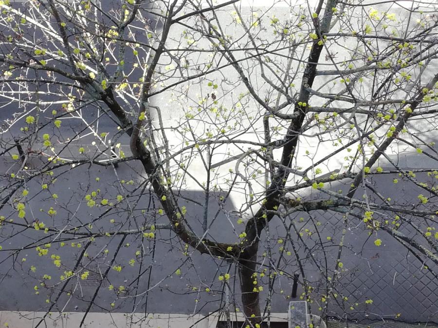 #AMAFENETRE Hala, Paris, 5 avril / je me masque, mon arbre se dévoile